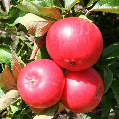 Apple Discovery-2yr bush MM106 rootstock