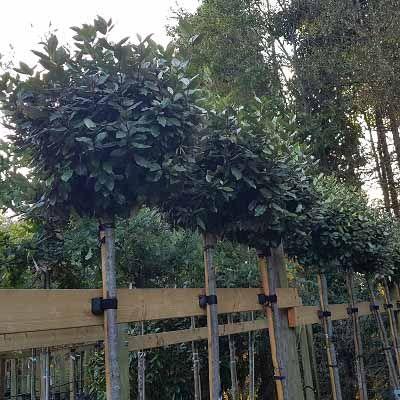 Elaeagnus x ebbingei Compacta-Compact Oleaster, standard tree form