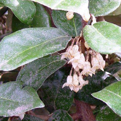 Elaeagnus ebbingei-Oleaster