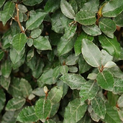 Elaeagnus ebbingei-Oleaster, shrub form