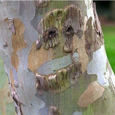 Eucalyptus gunnii-Cider Gum