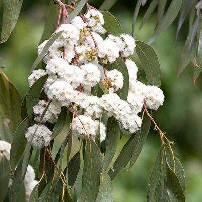 Eucalyptus niphophila  Snow Gum