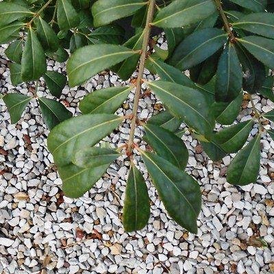Euonymus alatus Compactus-Winged Spindle Tree
