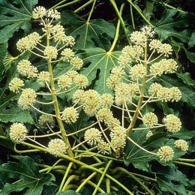 Fatsia japonica-Japanese Aralia
