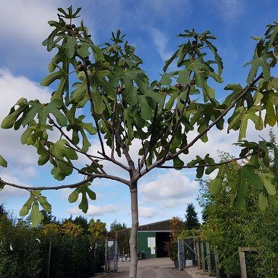 Fig Brown Turkey-Fig tree, Half Standard Form