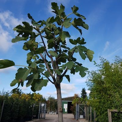 Fig White or Bianco-White Fig Tree