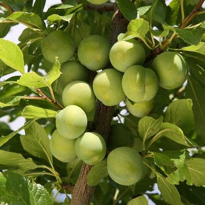 Gage Old Greengage-St Julian A Rootstock
