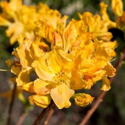 Azalea Golden Lights-Deciduous Azalea