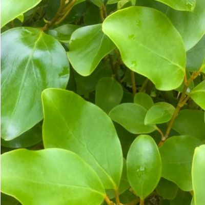 Griselinia littoralis-New Zealand Privet