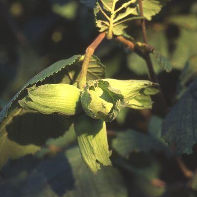 Kent Cobnut-2yr bush