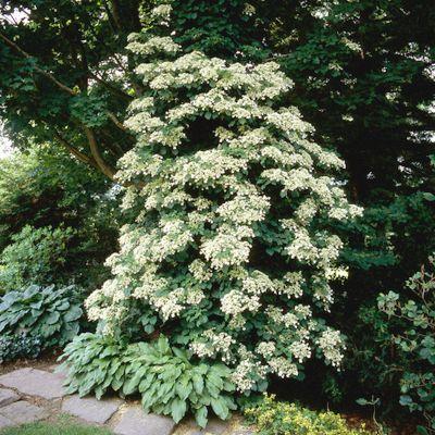 Hydrangea petiolaris-Climbing Hydrangea