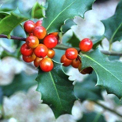 Ilex aquifolium Alaska-Holly