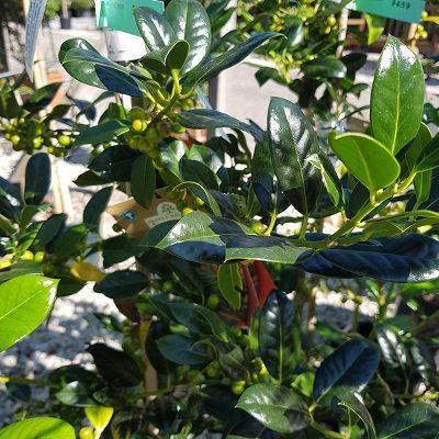 Ilex aquifolium J C van Tol-Spineless, self fertile holly