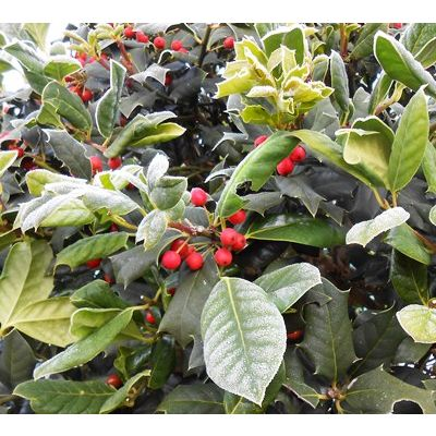 Ilex Nellie Stevens HALF STD-Holly