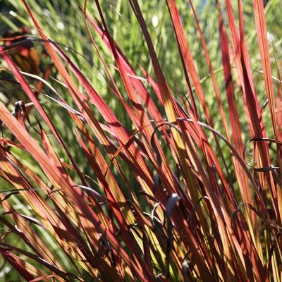 Imperata cylindrica Red Baron-Japanese Blood Grass