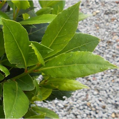 Laurus nobilis H/STD-Bay Tree