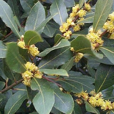 Laurus nobilis-Bay, shrub form