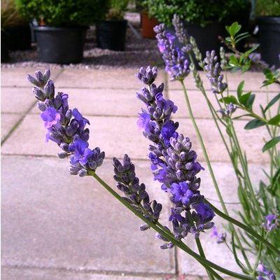Lavandula angustifolia Vera-Lavender Vera