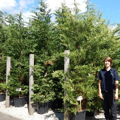 Cupressocyparis leylandii-Leyland Cypress
