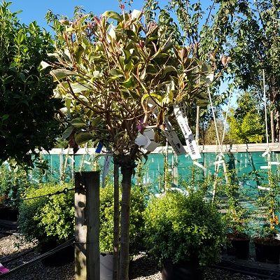 Ligustrum japonicum Excelsum Superbum-Chinese Privet, Half Standard Form