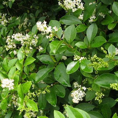 Ligustrum ovalifolium-Oval leafed Privet