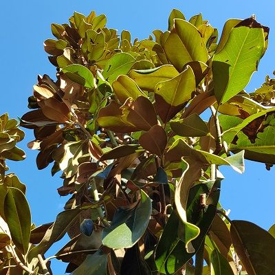 Magnolia grandiflora Goliath-Evergreen Magnolia, Half Standard Form