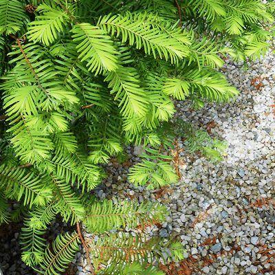 Metasequoia glyptostroboides-Dawn Redwood
