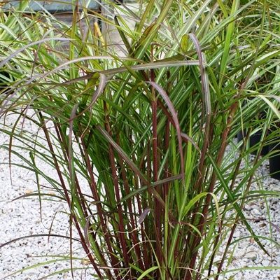 Miscanthus Flamingo-Chinese Grass