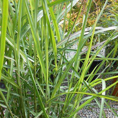 Miscanthus Yakushima dwarf-Chinese Grass