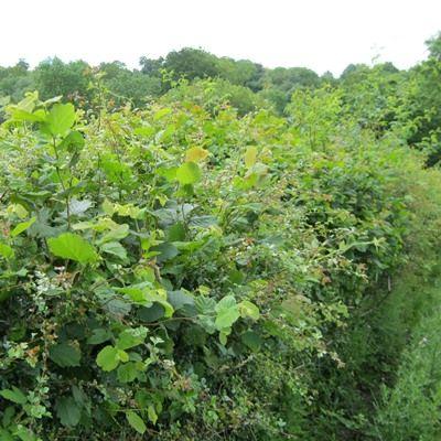 Rural Hedge Mixture-Larger Quantities of Mixed Native Hedging, Bareroot
