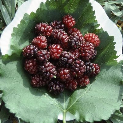 Black Mulberry-2yr bush