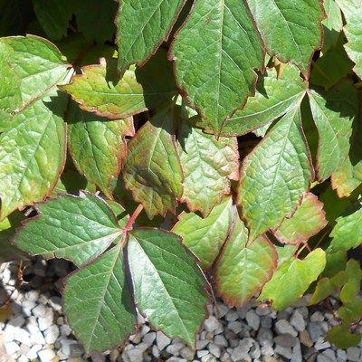 Parthenocissus tricuspidata veitchii-Boston Ivy
