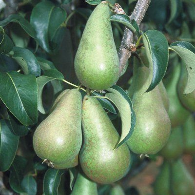 Pear Concorde-2yr bush Quince A rootstock