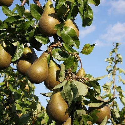 Pear Conference-2yr bush Quince A rootstock