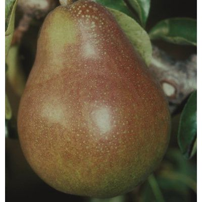 Pear Doyenne du Comice-2yr bush Quince A rootstock