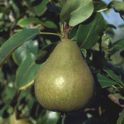 Pear Williams Bon Chetrien-2yr bush Quince A rootstock
