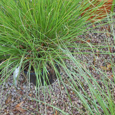 Pennisetum Hameln-Fountain Grass