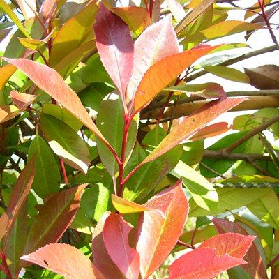 Photinia Red Robin BALL-Photinia Red Robin