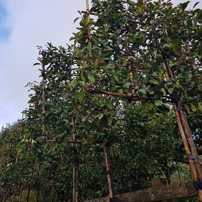 Photinia Red Robin-Red Robin, Pleached Form