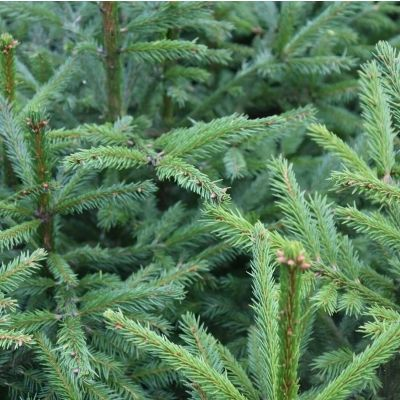 Picea abies-Norway Spruce