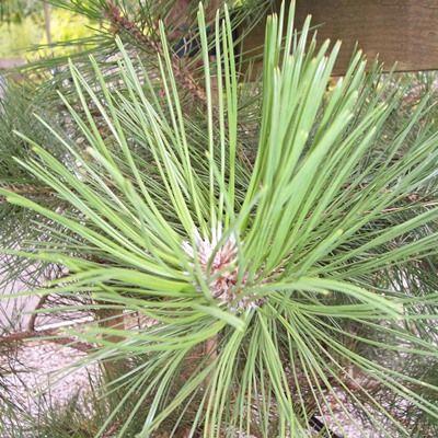 Pinus nigra austriaca-Austrian Pine