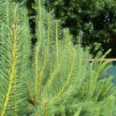 Pinus sylvestris-Scots Pine