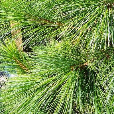 Pinus wallichiana-Bhutan Pine