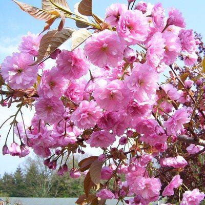 Prunus Kanzan-Double Pink Cherry