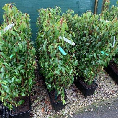 Prunus lusitanica - Instant Hedge Portugal Laurel