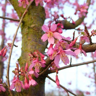Prunus Okame-Flowering Cherry