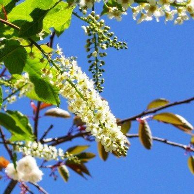 Prunus padus var. Watereri-Bird Cherry