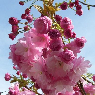 Prunus Pink Perfection-Cherry Pink Perfection