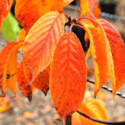 Prunus sargentii-Sargents Cherry
