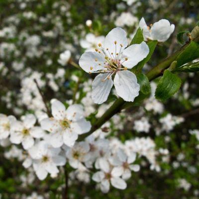 Prunus spinosa-Blackthorn